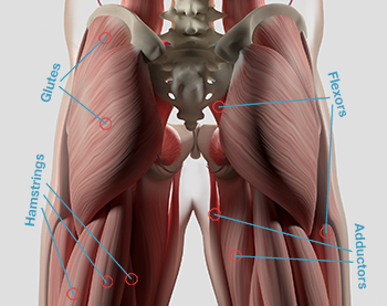 hip stretches muscles anatomy