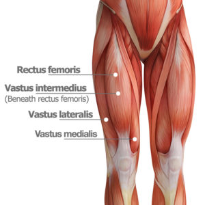Quadriceps anatomy quad exercises