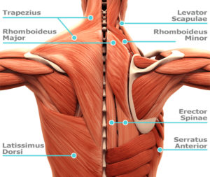 Back muscles - back stretches