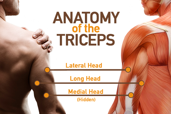 triceps muscle anatomy | dumbbell lying triceps extension