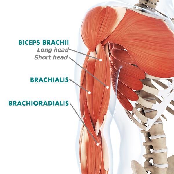 biceps anatomy