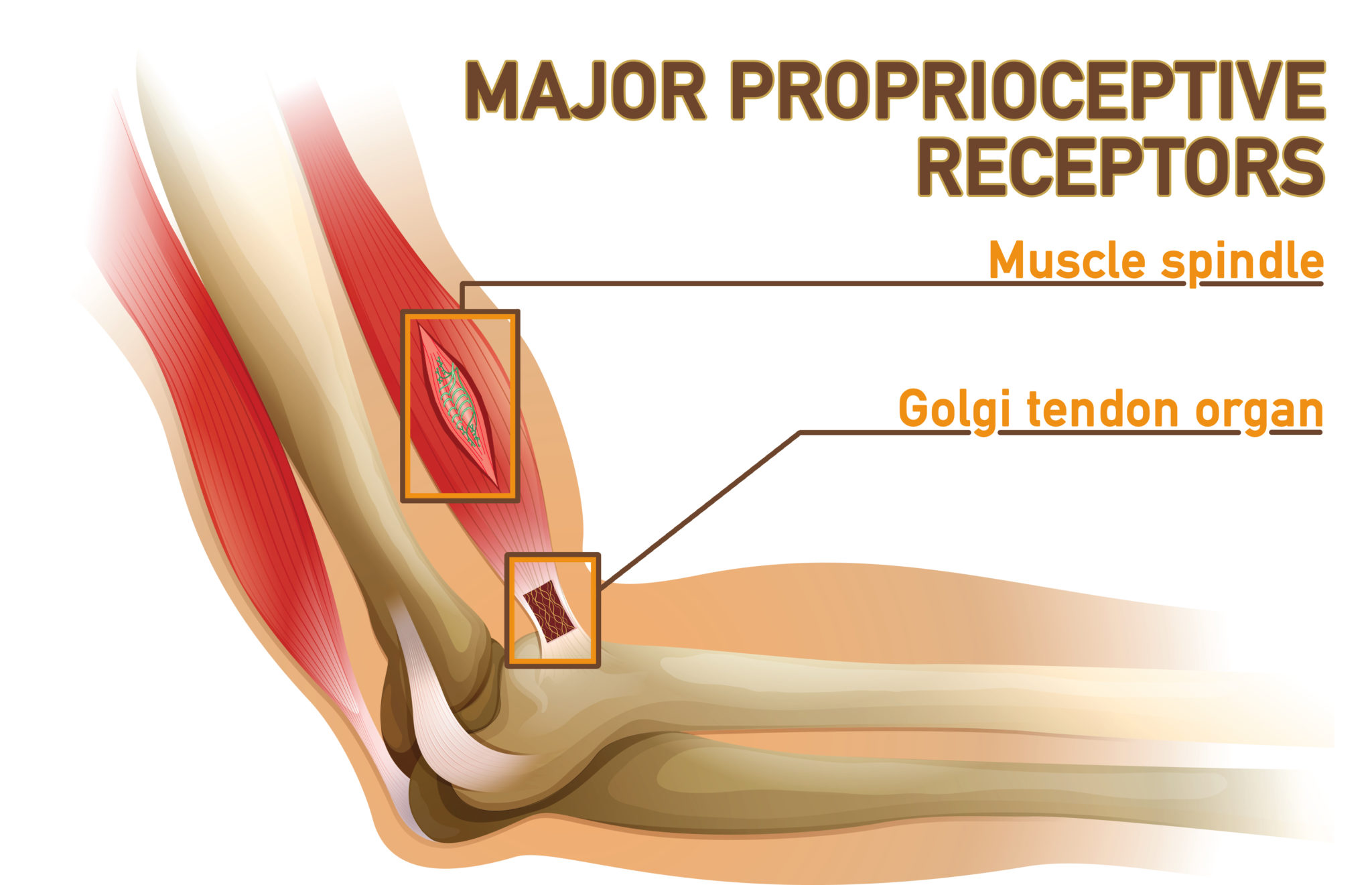 proprioception | receptors | muscle spindle | golgi tendon organ