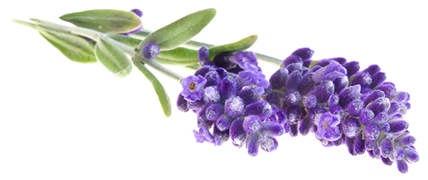 lavender - essential oils for sleep
