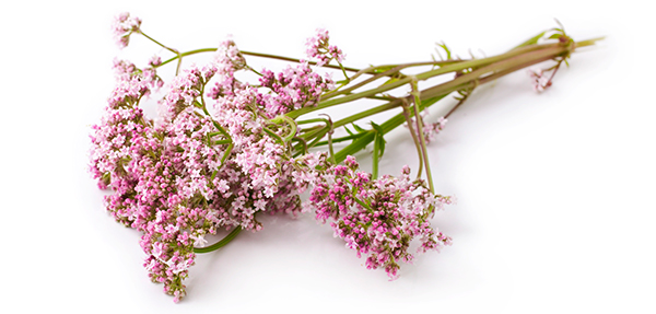 valerian - essential oils for sleep