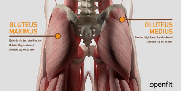 butt anatomy - gluteus maximus - gluteus medius - sacrum