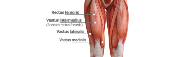 quadriceps - quads anatomy - do squats make your butt look bigger