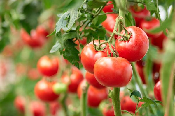 tomatoes- anti inflammatory diet