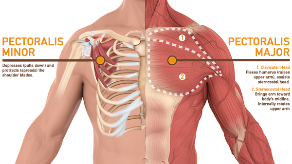 chest anatomy- diagram