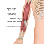 arm muscles- muscle diagram