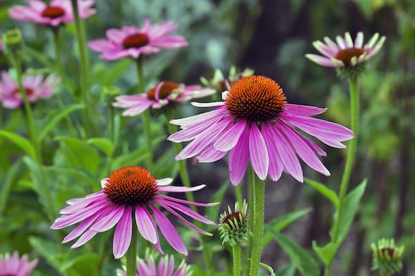 echinacea- flower