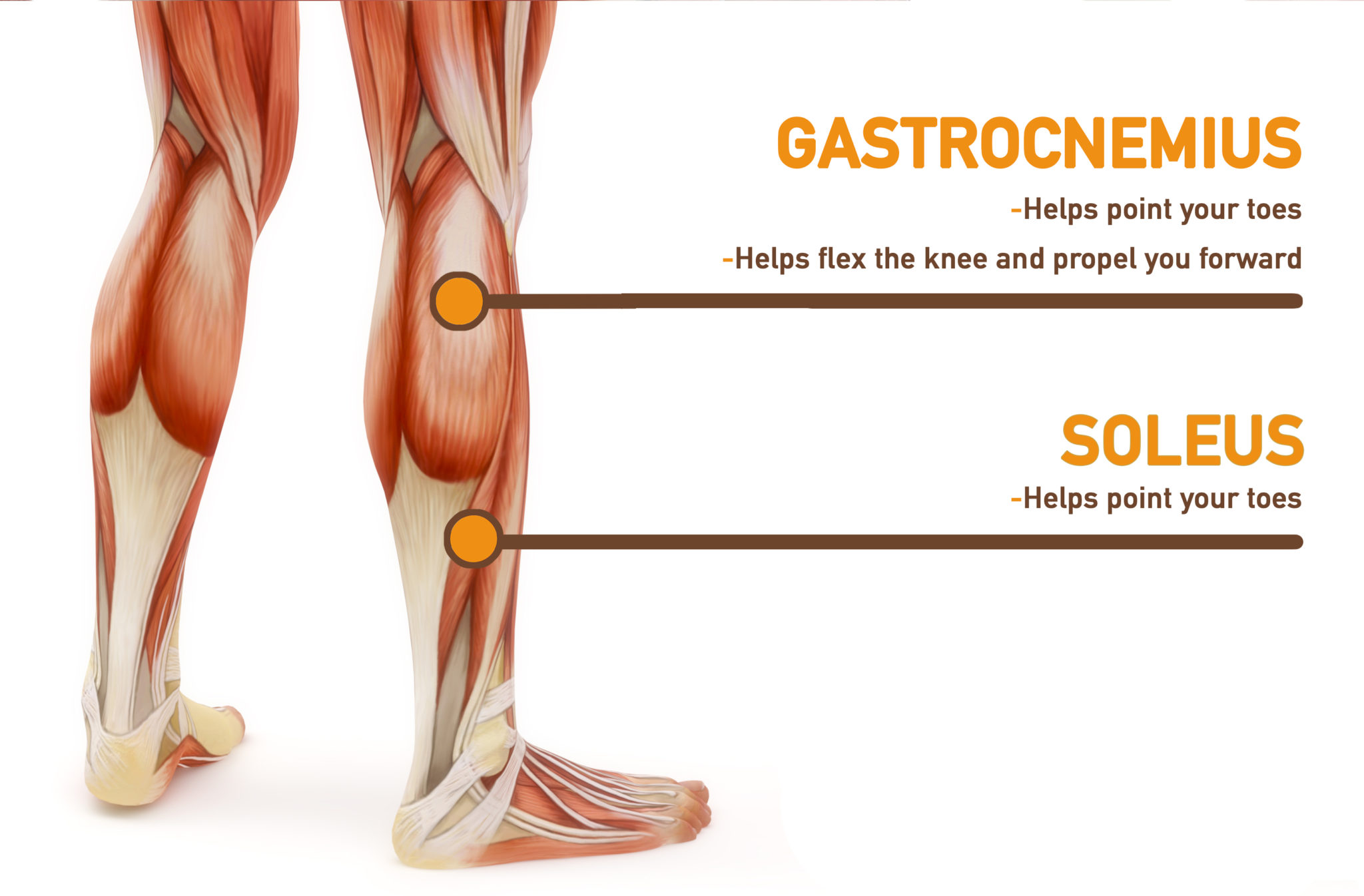 calves workout | gastrocnemius soleus muscles