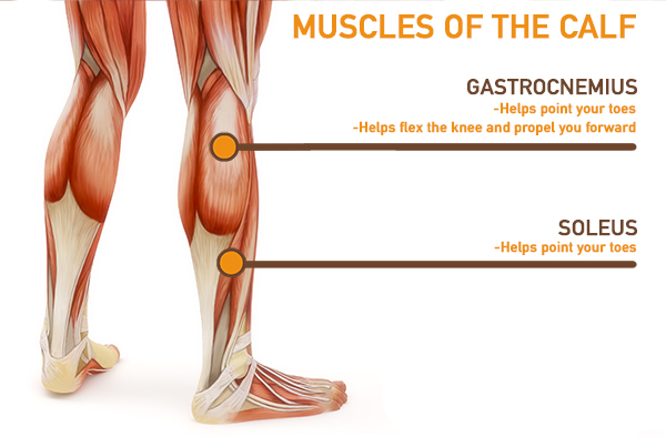 calf anatomy - muscles of the calf
