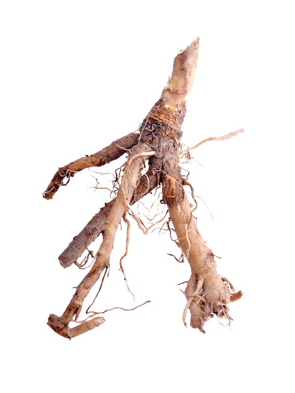 chicory root benefits - piece of chicory root