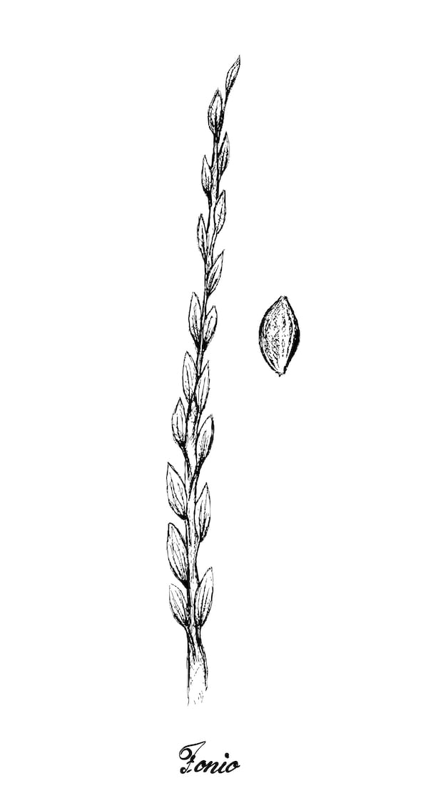 fonio - fonio illustration