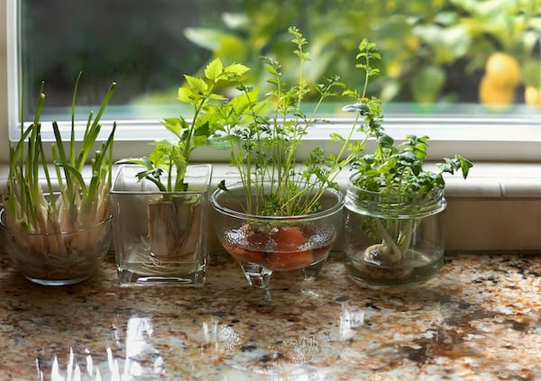 indoor herb garden - growing herbs in window
