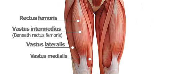 quadriceps anatomy graphic | leg muscle anatomy