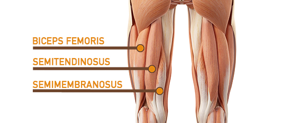 hamstrings anatomy graphic | leg muscle anatomy