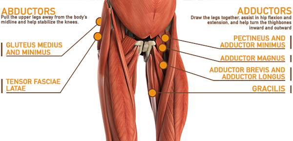 anatomical image of abductors and adductors | leg muscle anatomy
